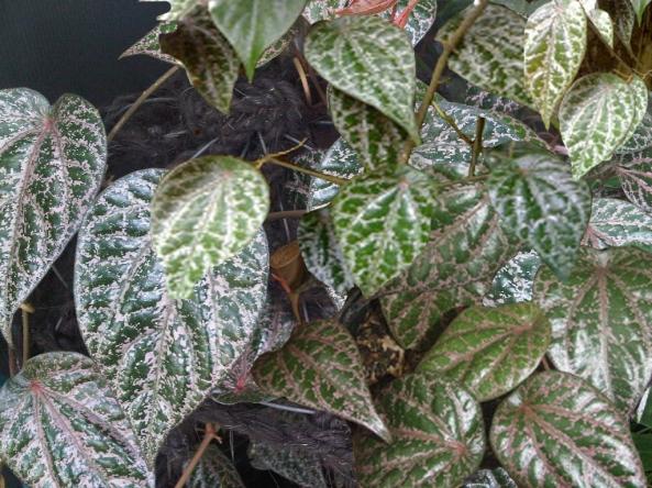 khasiat daun sirih merah