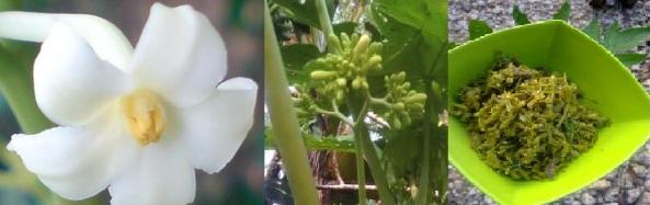 bunga pepaya